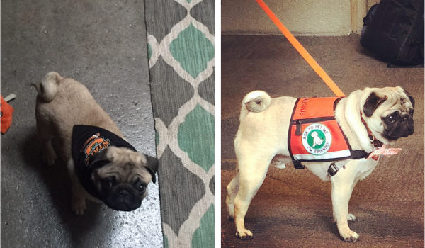 "(Left) Gus as a puppy with his OSU gear (Right) Gus at 2018 at P3T ""Barkalaureate"" graduation"