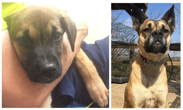 From Left to Right: Puppy Maggie on the day she was rescued / Maggie's ears